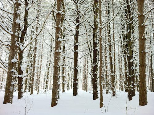 Dark, straight tree trunks in a snowy forest